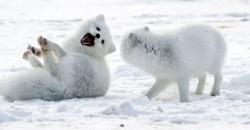 arctic-foxes-laughing-720b