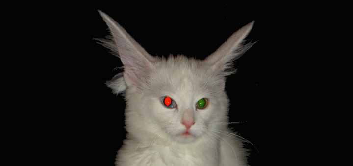 Flash photo of an Odd-Eyed Cat