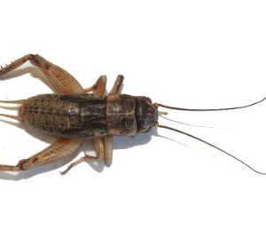 1000-Live-Crickets-Large-1-0